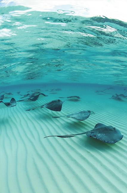 stingrays in cayman