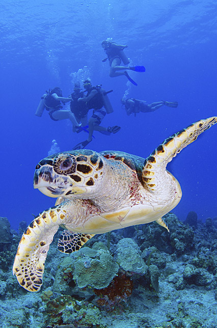 turtle in the cayman islands